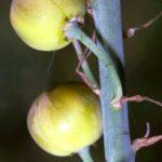Asphodelus cerasiferus J. Gay