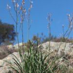 Asphodelus ramosus L.
