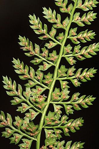 Asplenium fontanum subsp. fontanum (L.) Bernh.
