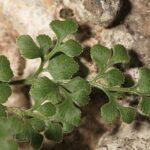 Asplenium ruta-muraria subsp. ruta-muraria L.