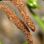 Asplenium septentrionale subsp. septentrionale (L.) Hoffm.