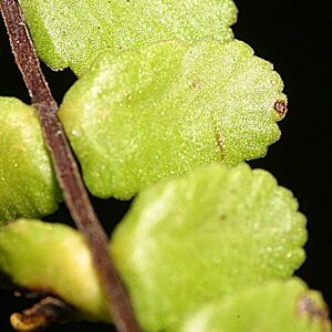 Asplenium trichomanes subsp. quadrivalens D.E. Mey.