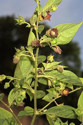 Atropa belladona L.