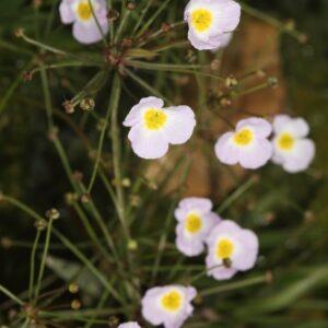 Baldellia ranunculoides (L.) Parl.