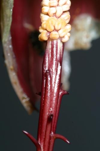 Biarum carratracense (Haens. ex Willk.) Font Quer
