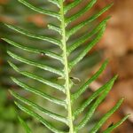 Blechnum spicant subsp. spicant (L.) Roth