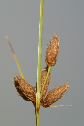 Bolboschoenus maritimus (L.) Palla