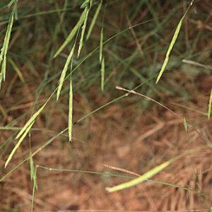 Brachypodium retusum (Pers.) Beauv.