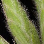 Bromus hordeaceus L.