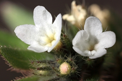 Buglossoides arvensis (L.) I. M. Johnst.