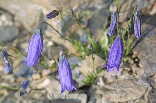 Campanula rotundifolia subsp. hispanica (Willk.) O. Bolòs & Vigo