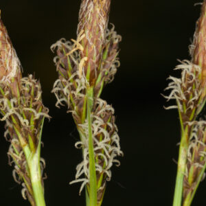 Carex elata subsp. reuteriana (Boiss.) Luceño & Acedo