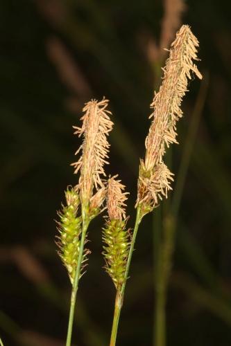 Carex helodes Link