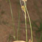 Carex laevigata Sm.