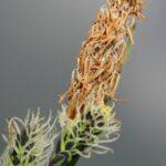 Carex nigra (L.) Reichard
