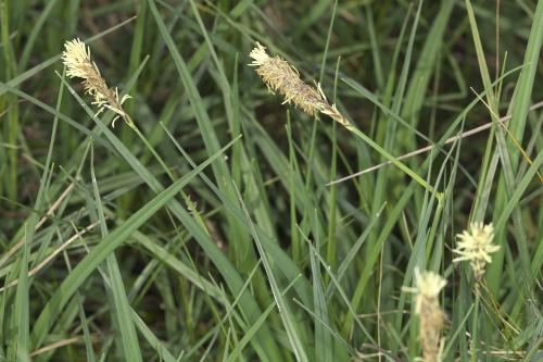Carex panicea L.