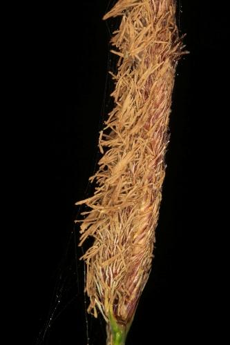 Carex pendula Hudson