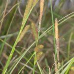 Carex pseudocyperus L.
