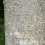 Celtis australis L.