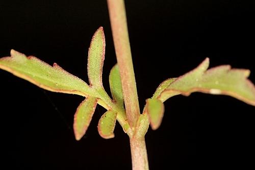 Centranthus calcitrapae (L.) Dufresne