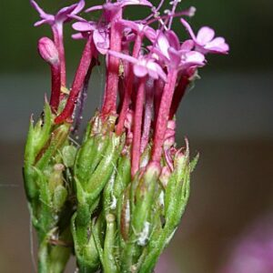 Centranthus macrosiphon Boiss.