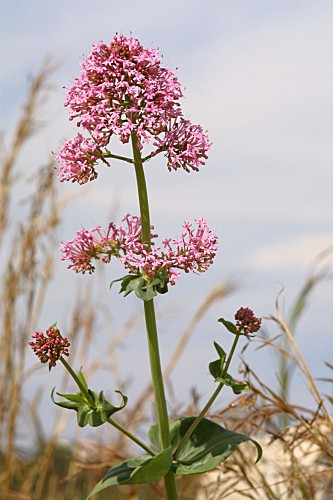 Centranthus ruber (L.) DC.