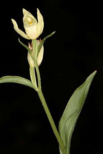 Cephalanthera damasonium (Mill.) Druce