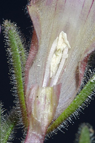 Chaenorhinum glareosum (Boiss.) Willk.