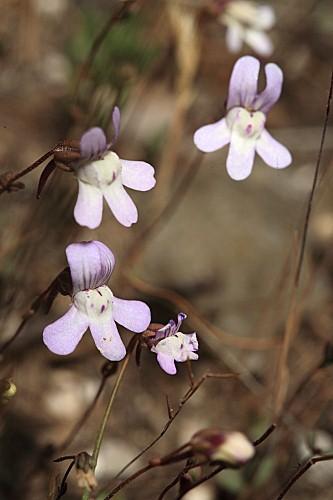 Chaenorhinum grandiflorum subsp. grandiflorum (Coss.) Willk.