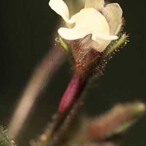 Chaenorhinum minus subsp. minus (L.) Lange