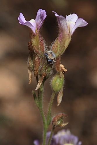 Chaenorhinum crassifolium subsp. crassifolium (Cav.) Kostel.
