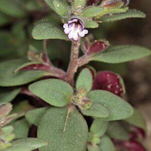 Chaenorhinum rubrifolium (Robill. & Castagne ex DC.) Fourr.