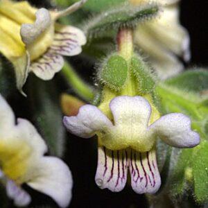 Chaenorhinum villosum (L.) Lange