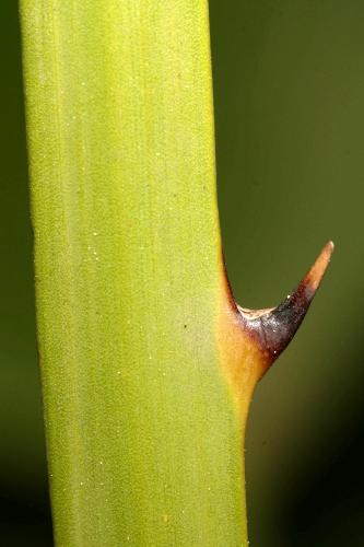Chamaerops humilis L.