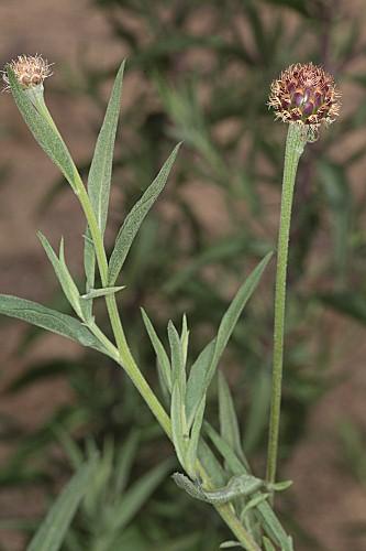 Cheirolophus sempervirens (L.) Pomel