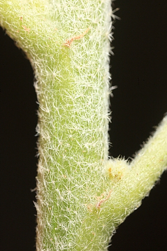 Chrozophora tinctoria (L.) A. H. L. Juss.