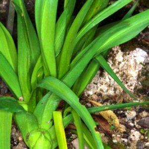 Colchicum lusitanum Brot.