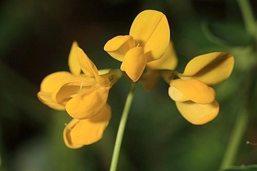 Coronilla glauca L.