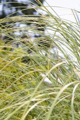 Cortaderia selloana (J. A. Schultes & J. H. Schultes) Aschers. & Graebn.
