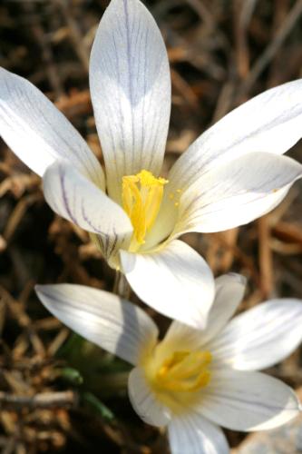 Crocus nevadensis Amo
