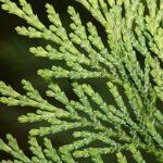 Cupressus arizonica Greene