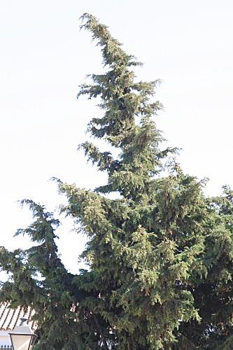 Cupressus sempervirens L.