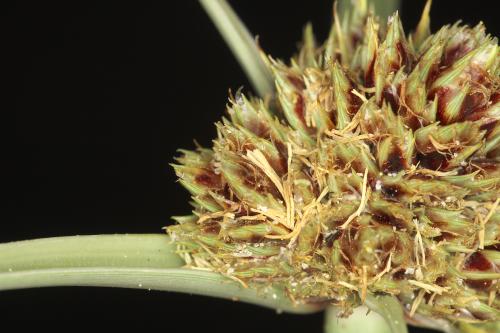 Cyperus capitatus Vandelli