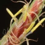 Cyperus rotundus L.