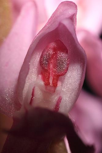 Dactylorhiza elata (Poir.) Soó