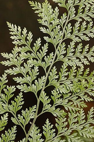 Davallia canariensis (L.) Sm.