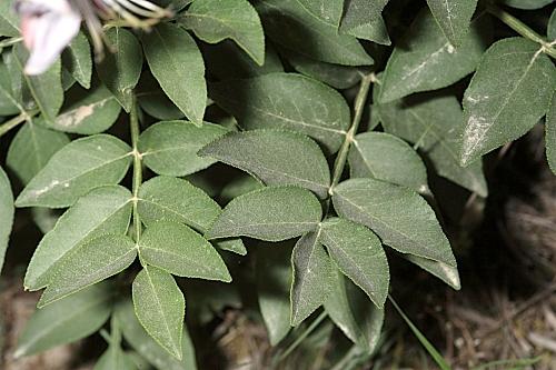 Dictamnus hispanicus Webb ex Willk.
