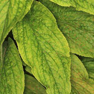 Digitalis lutea subsp. lutea L.