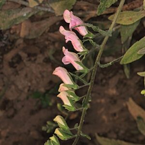 Digitalis minor L.