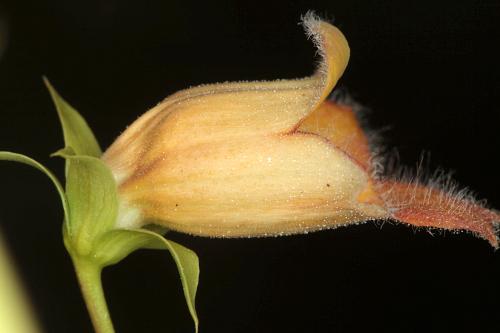 Digitalis obscura subsp. laciniata (Lindl.) Maire